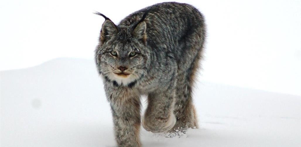 1-Lynx-KWRO-Medium-e1424451720579