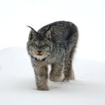 1 - Lynx KWRO
