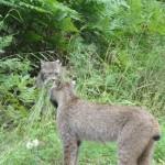 2 lynx staring