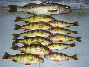 Kanipahow Jumbo Perch!