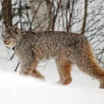 3 - Lynx KWRO