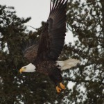 Bald Eagle Chapleau