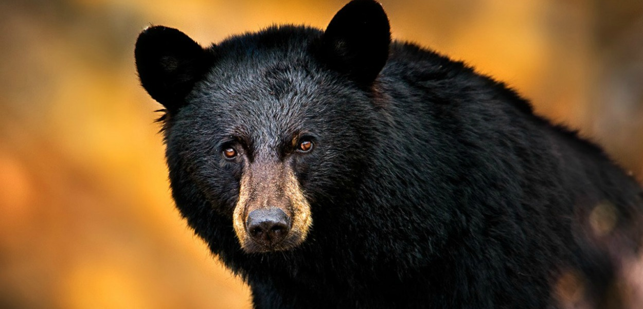 Black-Bear2205